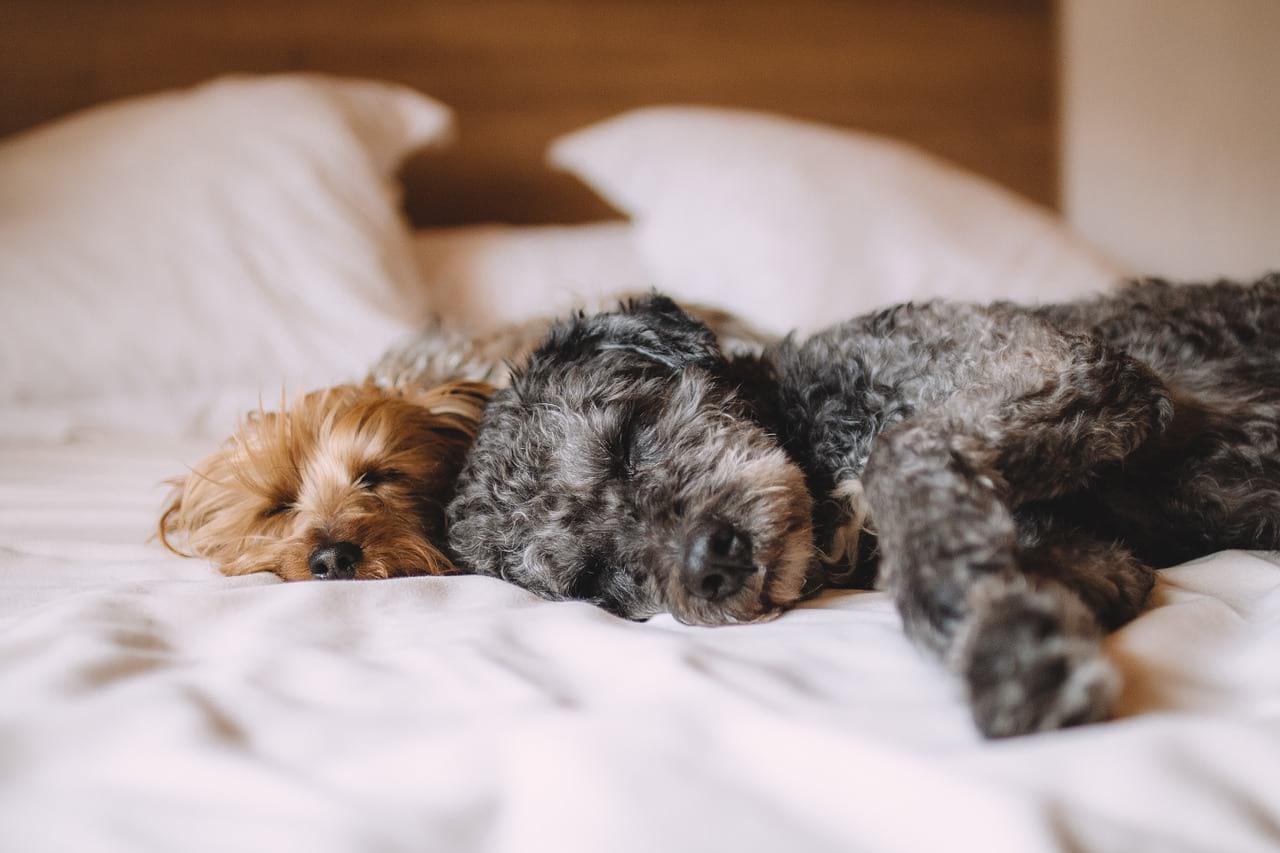 Cães na cama