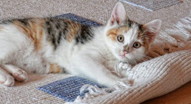 gato-tapete