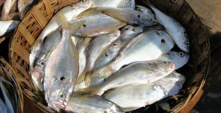 peixe-fresco